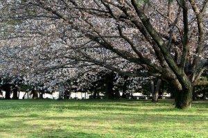 jardin_cerezos