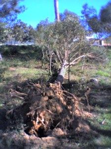 arbre_caigut_soca
